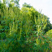 Small photo of Giant Ragweed (Ambrosia trifida)
