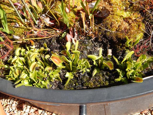 Venus' flytraps