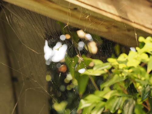 屋敷のジョロウグモの巣