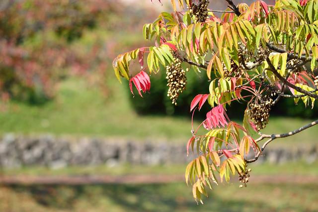 紅葉_ヤマハゼ Autumn colors