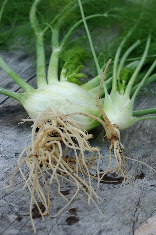 Fennel from the garden by Eve Fox, the Garden of Eating, copyright 2015