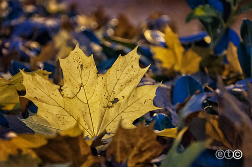 Yellow leaf  in the blue hour