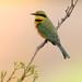 Little Bee-Eater - Merops Pusillus - Kleinbyvreter
