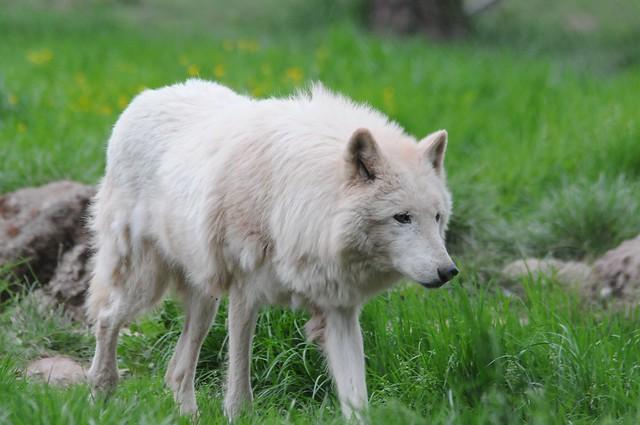 Polarwolf in der Monde, Nikon D300, AF VR Zoom-Nikkor 80-400mm f/4.5-5.6D ED
