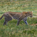 Leopard coming through the marsh on his way to higher ground, Ndutu, Tanzania, East Africa by diana_robinson