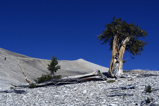 The Patriarch Grove, Ancient Bristlecone Pine Forest, Inyo County, California 2-73
