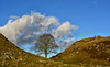 Tree of the Year 2016 - Sycamore Gap