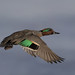 Green-winged Teal | Sarcelle à ailes vertes by shimmeringenergy