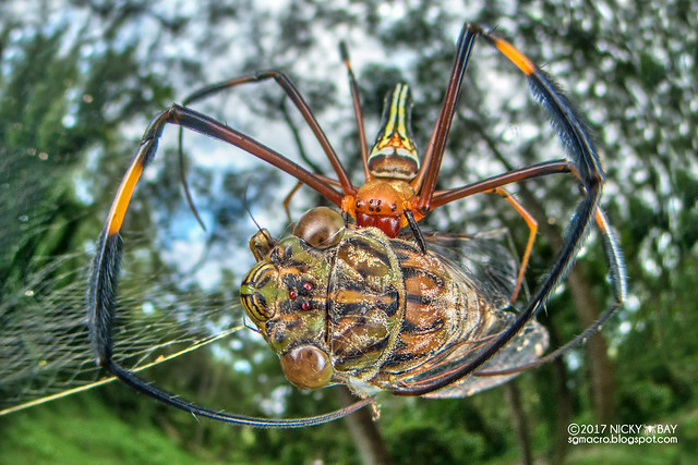 Golden orb weaver (Nephila pilipes) - DSC_9820