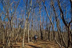風の道コース・・・冬枯れの雑木林の尾根