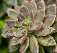 soggy succulent