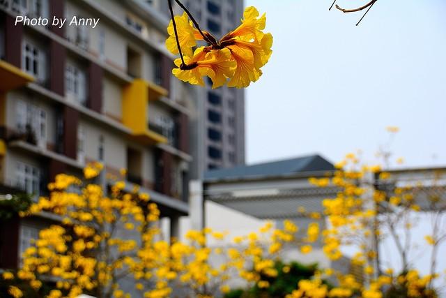 黃風鈴木39