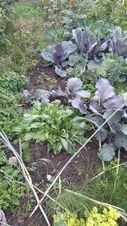 Woad, red cabbages