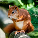 A60 Red Squirrels