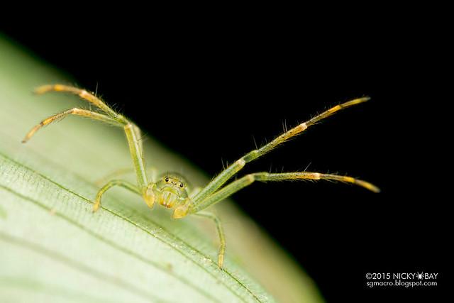 Crab spider (Thomisidae) - DSC_3648