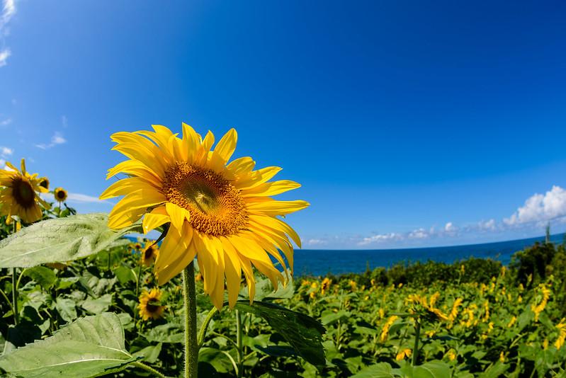向日葵-鳴り石の浜-6