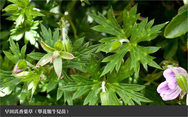 早田氏香葉草6