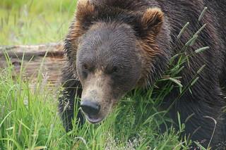 024 bruine beer (black bear)