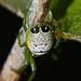 Upside down night orb weaver spider Araneus praesignis Airlie Beach rainforest P1190164 by Steve & Alison1