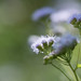 Small photo of Ageratum