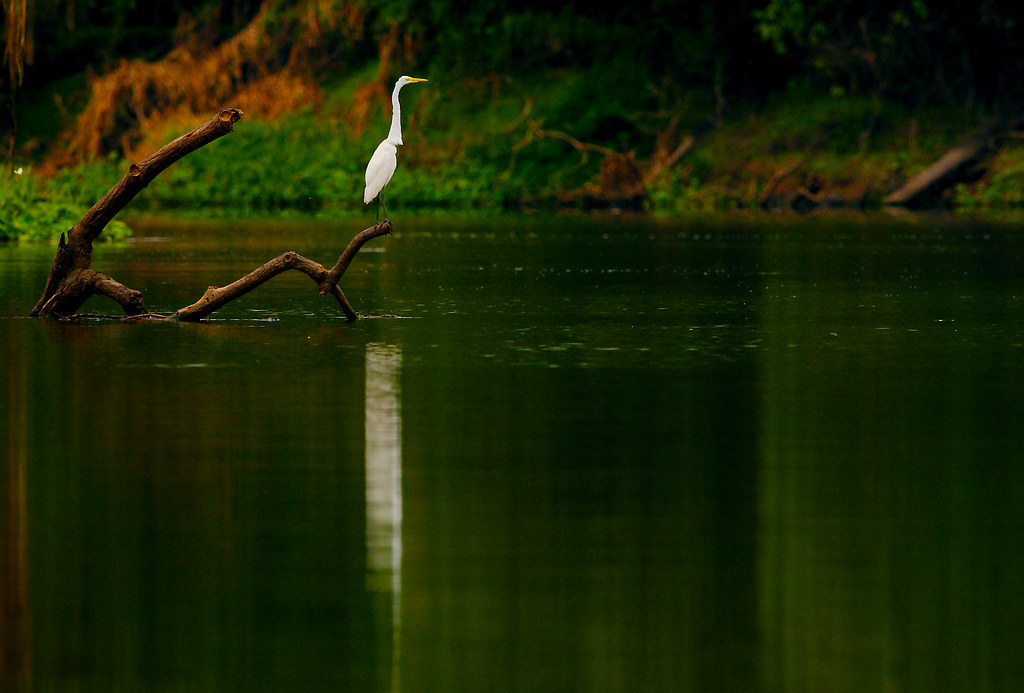 Great Egret (Ardea alba)_225
