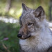 Loup Gris / Gray Wolf / canis lupus (juvenile) (♀) by (Thanks for Over 1.6 Million Views!)