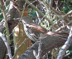 Long-billed Thrasher/ RGVBF/ Nov 4 thru 8 2015