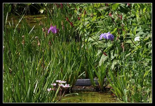 Iris ensata (4)