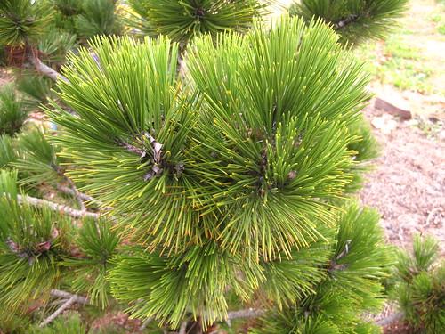 Pinus heldreichii Bosnian Pine BGO 11 10 (6)
