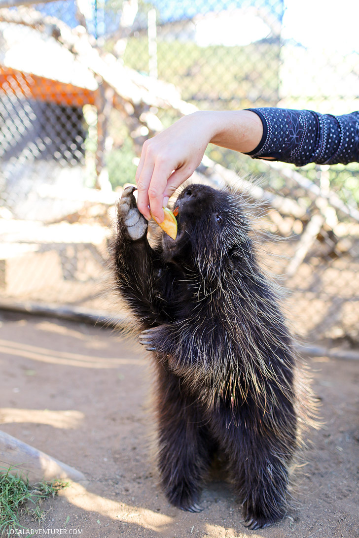 Meet and interact with the North American Porcupine (Erethizon dorsatum) at Wild Wonders Bonsall CA. In the wild, they are found in the forests of Canada and the United States.