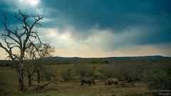 Duelling rhinos! (view it BIG!)