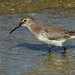 Dunlin by Up Nort