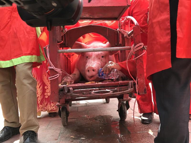 The pig is taken along the parade, Nem Thuong Pig Slaughter Festival, Vietnam 2017