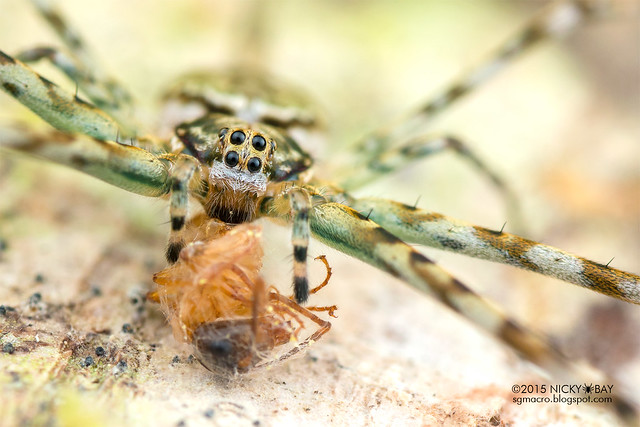 Two-tailed spider (Hersiliidae) - DSC_2566