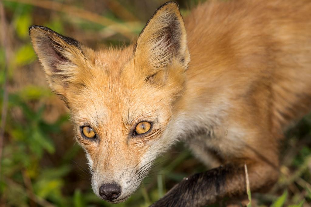 Red Fox - Full Frame