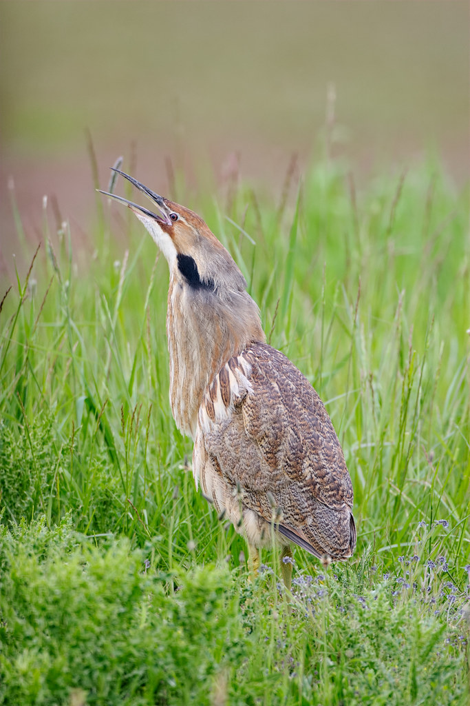 An American bittern calls out at Ridgefield National Wildlife Refuge