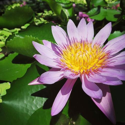 蓮の花。ベトナムらしく。