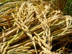 emmer, hordeum, agriculture, triticale, einkorn wheat, rye, food grain, barley, wheat, plant, produce, food, crop, cereal,