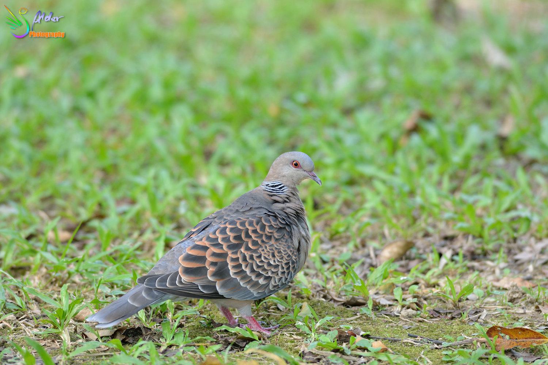 Turtle_Dove_1660