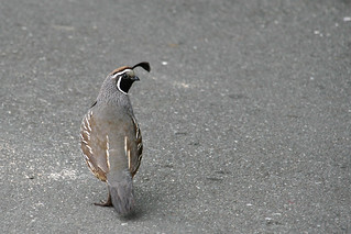 Californian quail, New Zealand 2008
