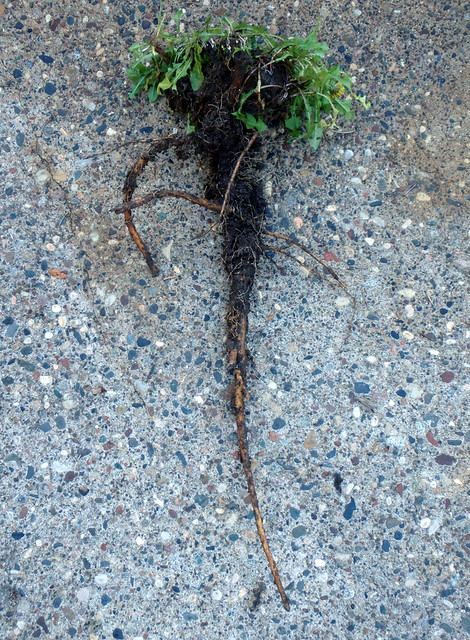 dandelion leaves above a two-foot taproot