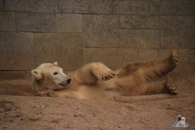 Eisbär Fiete im Zoo Rostock 05.12.2015  218