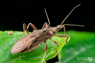 Assassin bug (Reduviidae) - DSC_9987