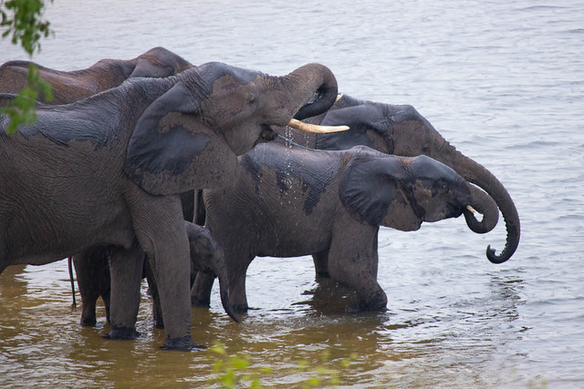 Elephants getting water