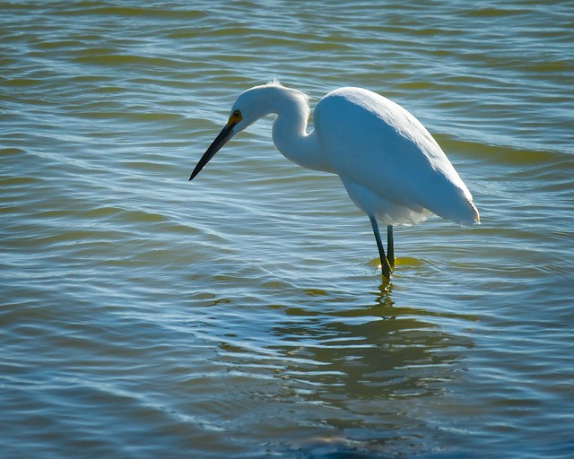Snowy Egret in Don Edwards Regional Park, Newark, Ca #17