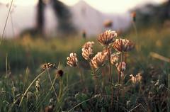 Alpine Сlover