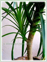 Our Dracaena marginata (Madagascar Dragon Tree) sprouted a new plantlet, Aug 5 2013