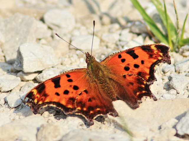 Eastern Comma 20150827
