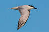 Gaivina-de-bico-preto ou Tagaz, Gull-billed tern (Gelochelidon nilotica) by valadares.vasco