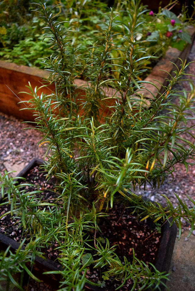 Rosemary at Timberyard, Edinburgh